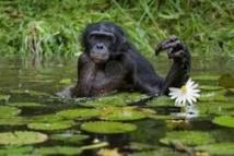 Des chercheurs décrivent pour la première fois des grands singes nageant