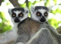 Sans action d'urgence, les lémuriens de Madagascar auront disparu dans 20 ans