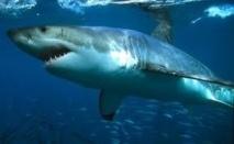 Un requin arrache le bras d'une touriste allemande à Hawaii