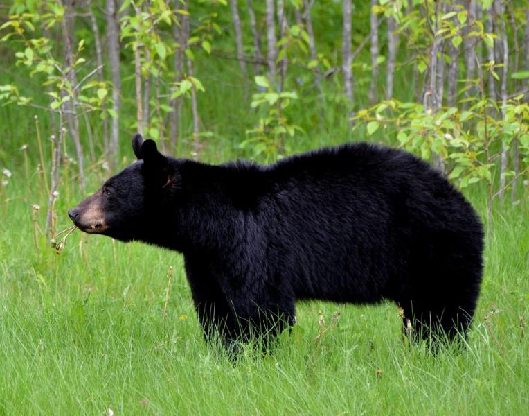 JO-2020: un ours cherche à assister à la première épreuve sportive
