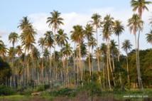 Un plan de développement durable pour la filière cocotier en Polynésie