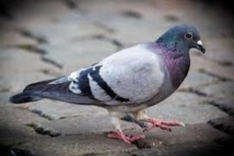 A Buenos Aires, des pigeons voyageurs pour le trafic de cannabis