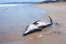 USA: la surmortalité des grands dauphins de l'Atlantique due à un virus
