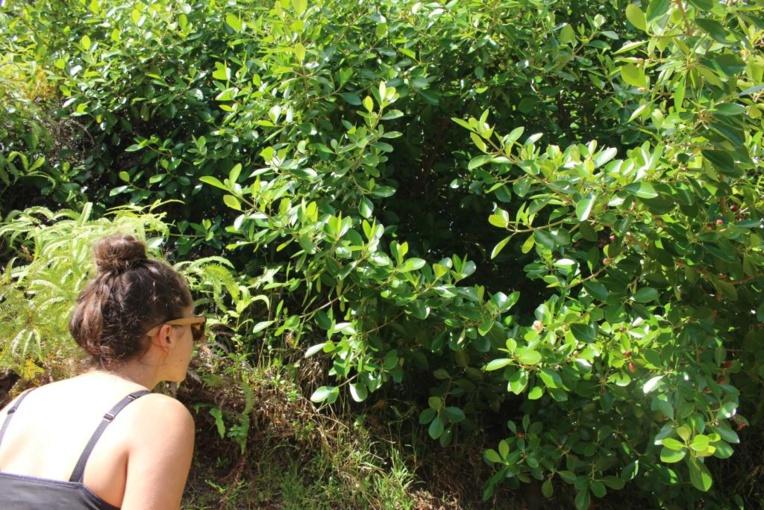Maeva Devambe observe un jeune plant de Clusia minor.