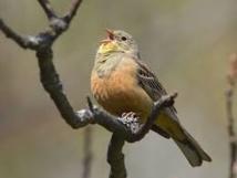 Landes : action des défenseurs des oiseaux contre la chasse à l'ortolan