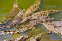 Crocodiles en série en Australie