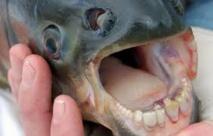 Un cousin du piranha pêché dans la Seine