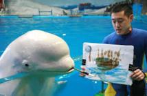 Des bélugas s'adonnent à la peinture dans un aquarium japonais