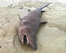 Un requin familier des eaux chaudes s'échoue sur une plage du Morbihan