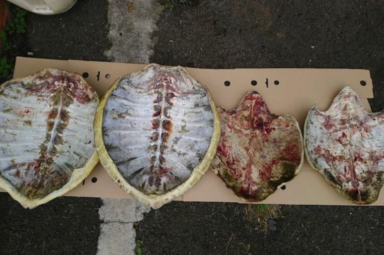 Les braconniers arrêtés après avoir jeté un sac de carapaces de tortue