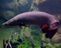 Un poisson amazonien doté d'un blindage anti-piranha unique dans la nature