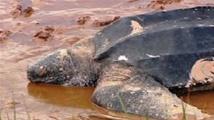 Salvador: 114 tortues marines découvertes mortes en moins de trois semaines