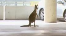 Australie: un kangourou dans le terminal de l'aéroport de Melbourne