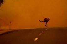 En Australie, koalas et wallabies à la merci des feux de brousse