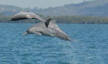 Une nouvelle espèce de dauphin à bosse découverte en Australie