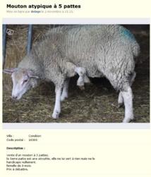 """Charente: éleveur vend mouton """"atypique à 5 pattes"""", prix à débattre"""