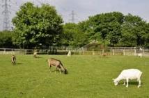 Japon: comment tondre le gazon sans énergie et en silence? Louer des chèvres!