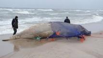 Des baleines d'une espèce rare s'échouent sur une plage en Nouvelle-Calédonie