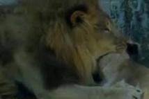 USA: sous les yeux des visiteurs d'un zoo, un lion tue une lionne