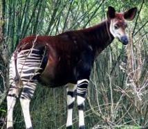 """L'okapi, """"la girafe des forêts"""", rejoint la liste rouge des espèces menacées"""