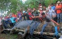 Nord de l'Australie : moins de crocodiles capturés en 2013