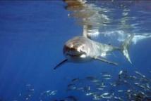 Les grands requins blancs pourraient vivre plus de 70 ans
