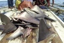 Ailerons de requins : la Nouvelle-Zélande déclare la guerre aux chasseurs