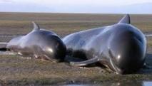 NZélande: des baleines-pilotes échouées sur une plage vont être euthanasiées