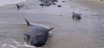 Échouages de cétacés en Nouvelle-Zélande : une histoire sans fin