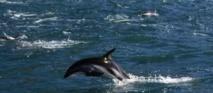 Des dauphins mal en point après la marée noire de BP dans le Golfe du Mexique