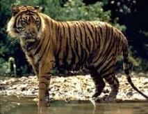 """En Inde, la traque compliquée d'un tigre mangeur d'hommes """"affamé"""""""