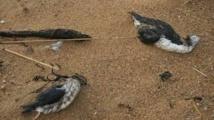 Des milliers d'oiseaux marins morts d'épuisement après les tempêtes