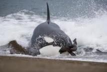 Échouages de neuf orques en Nouvelle-Zélande