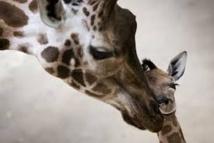 Un autre girafon appelé Marius menacé d'euthanasie au Danemark