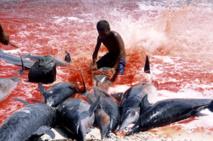 Îles Salomon : reprise des abattages de dauphins