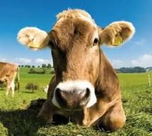 Découpe minute, vaches timbrées et un cri de cochon un peu fort dans le micro
