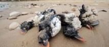 Echouage massif d'oiseaux marins: la LPO décide de porter plainte pour pollution