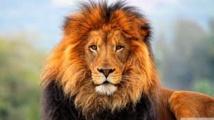 Le Dr Henschel, témoin de l'extinction des lions de régions entières d'Afrique