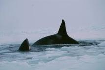 Canada: mort d'une trentaine de dauphins piégés par les glaces