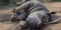 Massacres de rhinocéros en Afrique du Sud en hausse depuis le début de l'année
