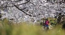 Japon: le mystère du cerisier de l'espace