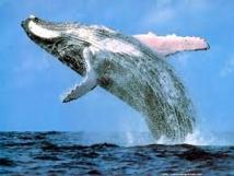 Le Japon va revoir son plan de chasse à la baleine dans l'Antarctique après la décision de la CIJ