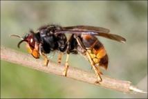 Nouvel avis de recherche pour traquer l'invasif frelon asiatique