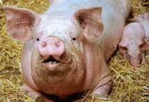 Médecine régénérative: de la membrane de porc pour régénérer les muscles