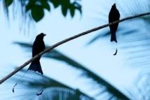 Un oiseau imite les cris d'alerte d'autres espèces pour dérober leur nourriture