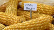 OGM: le Conseil d'Etat confirme l'interdiction de culture du maïs MON810