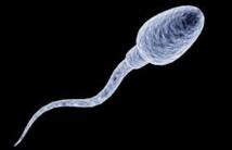 Des spermatozoïdes vieux de 17 millions d'années découverts en Australie