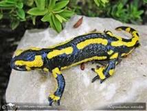 Alerte sur la salamandre européenne, menacée par un mystérieux champignon