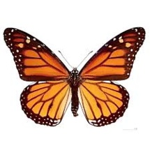 Les Toulousains invités à compter les papillons
