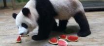 Les parieurs chinois comptent sur leurs pandas devins au Mondial-2014
